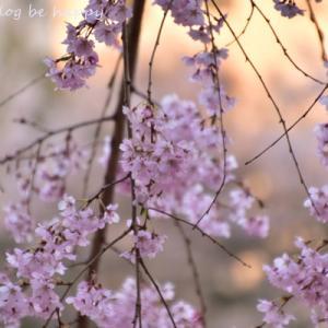 週末のソウルの桜