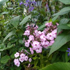 フロックスなど*宿根草の花壇