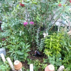 夏花壇へ「バラ•カントリーハウス」