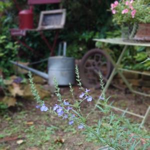今朝の庭~アズレアゆらゆら