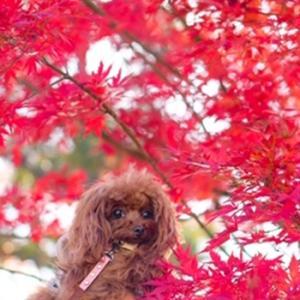 富士河口湖紅葉まつり!