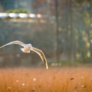 【273】台東区上野公園 黄金色に輝く不忍池