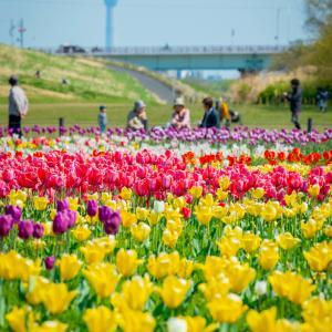 【279】足立区鹿浜 スーパー堤防に咲き乱れるチューリップ
