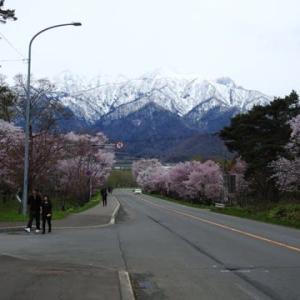 桜並木in富良野