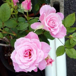 薔薇のこと11