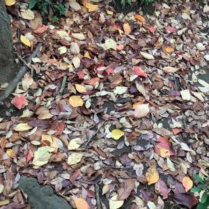 桜染め 落ち葉も使用して