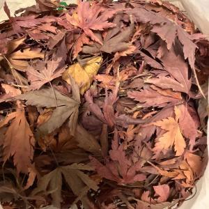 紅葉 落ち葉 試し 草木染め
