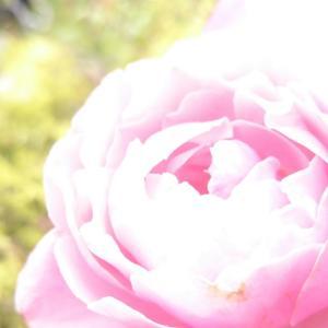 バラをハイキーでホンワカ撮るよ