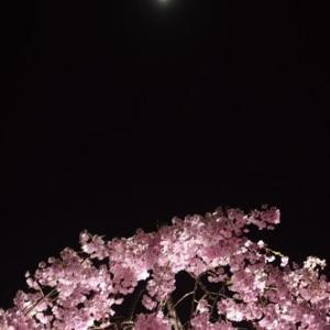 井川国花苑の夜桜