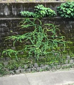 妙正寺川岸の蔦