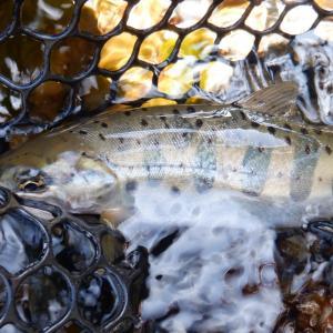 4月21日 美山川 渓流釣り15