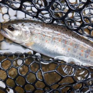 5月16日 美山川 渓流釣り19