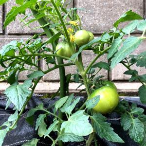 梅雨入り前の家庭菜園の様子。