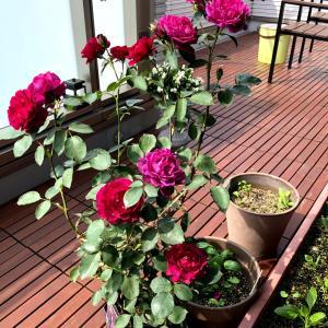 香りのよい薔薇と花々色々~梅雨入り時期