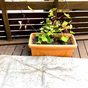家庭菜園 プランター栽培のサツマイモの収穫