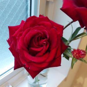 冬の薔薇 イングリッド・バーグマン