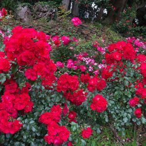 山手散歩・いい香りの薔薇&伝統のチョコレートパフェ