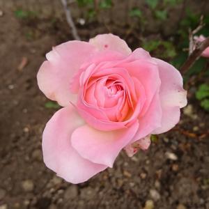 お庭のバラが咲きました
