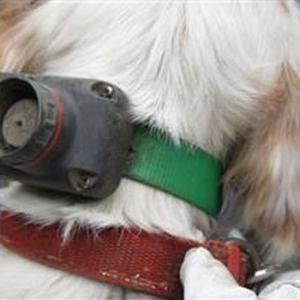 「GPSを付けたままの犬が収容されました、狩猟で用無しになったのでしょうか?~栃木県」