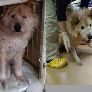 「センターに4年以上も収容されているムク君、もう老犬になってしまった~福岡県」