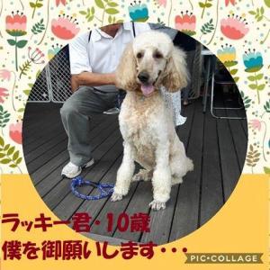 「末期ガンで余命僅かな飼い主さんが命を託すスタンダードプードル~沖縄県」