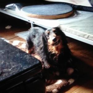 「孤独死宅に残された老犬のダックスたち~香川県高松市」