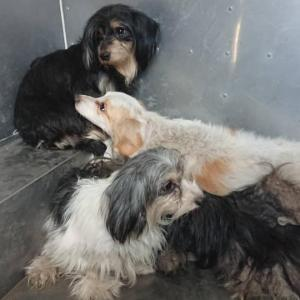 「多頭崩壊現場の老犬と奇形の犬は収容できない~熊本県」