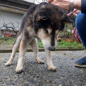 「16年間ケージの中で暮らしてきた繁殖犬しょうたくんの里親さん募集~奈良県」