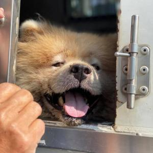 「大型犬に慣れたボラトリさんを緊急募集:この仔の鎧を取ってあげたい~熊本県」