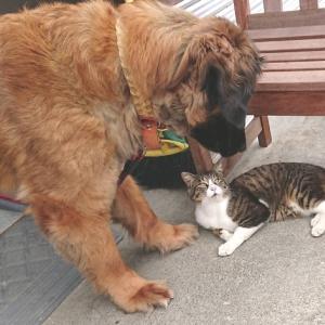 「虐待に遭っていた超大型犬と野良猫のやさしい絆~北海道」