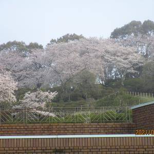桜満開(半田山植物園)