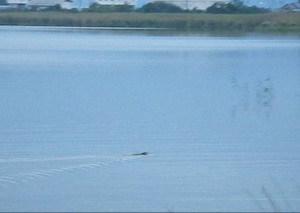 伊庭内湖では初めて見たヌートリアの動画をup