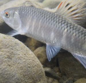 初秋シラハエ・増水の瀬でダブルヒットを楽しむの動画をup