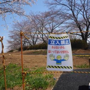角さんが愛した公園の桜2019