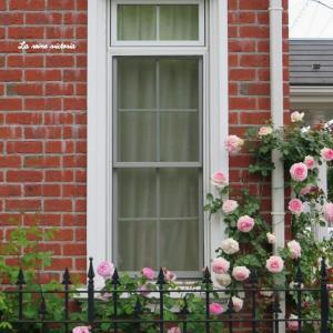 窓辺に咲いている2種類のイングリッシュローズ♡
