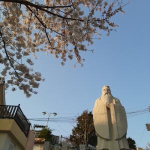 仁川在住の作家 戸田郁子さんから桜のお便り