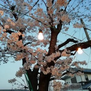 夜桜を楽しみました