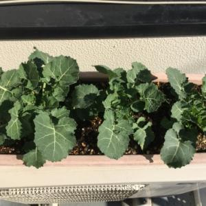 「菜の花をそだてよう~種まきワークショップ~」3か月目