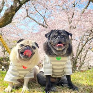 #桜の季節がやってきた〜!!!、、え?笑