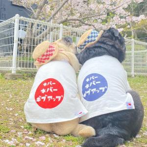 #桜サクサクさんぽ2021、アシスタントに感謝!!