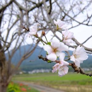 百名山の麓をたずねて (4)筑波山④ ヒガンバナと桜と筑波山・矢中の杜