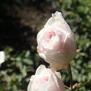 眩しく咲くバラの花!