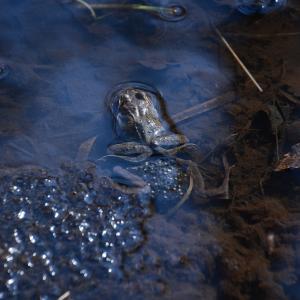 恐るべし繁殖力…カエルの産卵