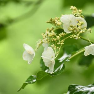 白い花山アジサイが咲いている