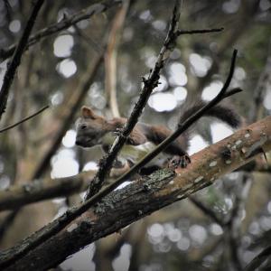 高い木の上にエゾリスが…