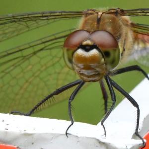トンボの眼鏡と小さな虫