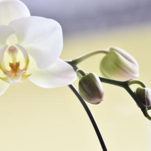 2度目の花咲く…我が家の胡蝶蘭