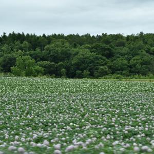 芋・イモ…ジャガイモ畑