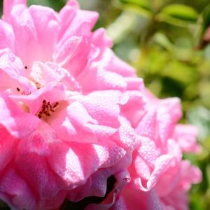 3つ目のバラ咲く!