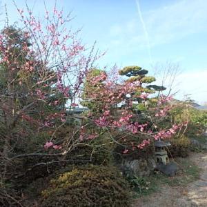 春日和、売出中の庭で梅の花をのんびり眺めた・・・